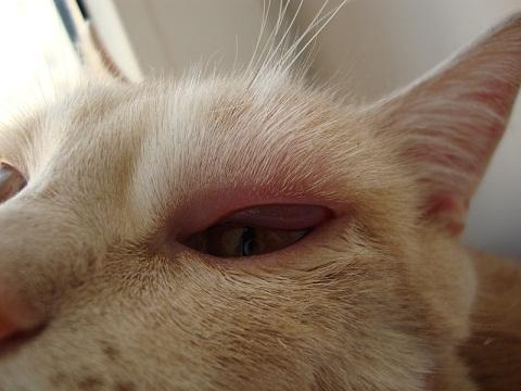 У кота опух глаз и заплыл
