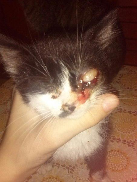 Когда открываются глаза у котят тайцев