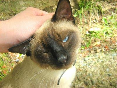 Ласковая сиамская кошка