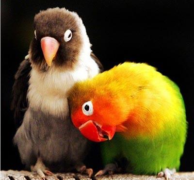 Попугаи неразлучники - любовь до гроба?