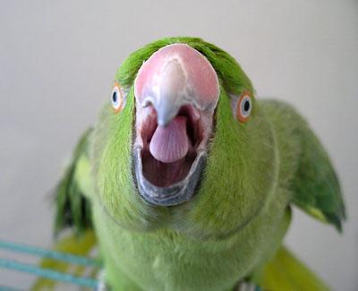 Злой попугай