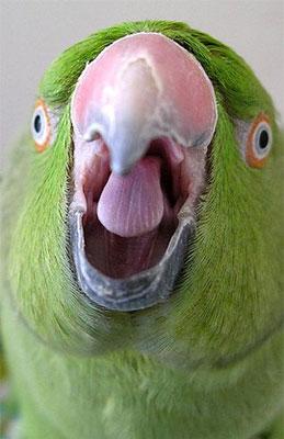 Почему попугай часто срыгивает корм