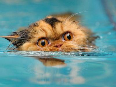 Как искупать персидскую кошку