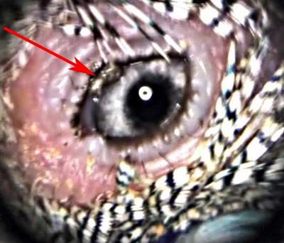 Рис 22 а. Инородное тело у волнистого попугая под верхним веком. (прибор ProfiView).