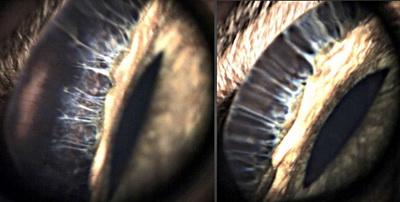 Рис 19. Видеогониоскопия иридо-корнеального угла у здоровой кошки, угол открыт (прибор ProfiView).