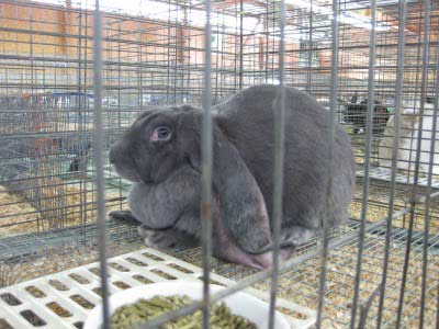 Вислоухий кролик-баран